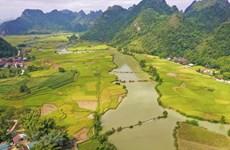 Temporada de arroz maduro en hermosa provincia vietnamita de Cao Bang