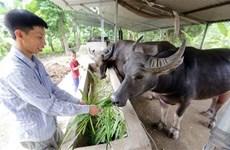 Laos podría ganar fondo millonario por exportación de búfalos y ganado este año
