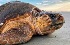Liberan especie de tortuga marina rara a su hábitat natural en provincia vietnamita
