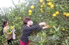 Apunta distrito vietnamita de Luc Ngan a aumentar las exportaciones de cítricos