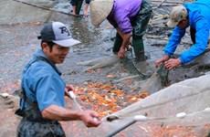 [Foto] Pueblo de cultivo de carpa roja Thuy Tram, ocupado ante la llegada de la ceremonia dedicada a Ong Cong y Ong Tao