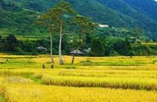 Las terrazas de arroz de Mu Cang Chai en temporada de cosecha