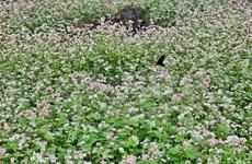 Campo de flores de alforfón: Destino atractivo de turistas a Ha Giang