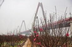 Cultivadores de flores de melocotón de Phu Thuong ocupados en vísperas del Tet
