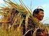 Viet Nam crea otras cuatro variedades arroceras