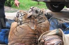 Disminuyen tigres en Mekong