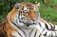 En peligro tigres en Sudeste Asiático