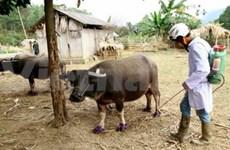 Viet Nam lucha contra fiebre aftosa y gripe aviar