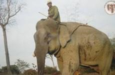Autoridades vietnamitas estiman fallido programa para salvar elefantes