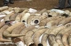 Aduana vietnamita confisca centenares de objetos de marfil de elefantes