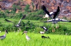 Retornan a Dien Bien exóticas aves migratorias