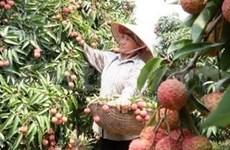 Vietnam duplicará exportación de lichi a China