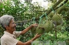 Durian vietnamita: fruto favorito para mercado estadounidense