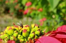Flor de pascua en Moc Chau