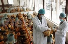 Vigorizan lucha contra gripe aviar en Vietnam