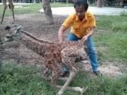 Nace sano otro jirafa africano en zoológico vietnamita
