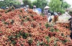 Vietnam prepara exportación de lichi y longán a EE.UU.