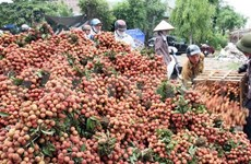 Bac Giang busca mercado receptor de lichi