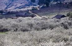[Foto] Temporada de floración de ciruela en la meseta septentrional de Moc Chau