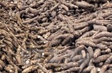 Exportaciones de yuca vietnamita se recuperan en primer trimestre de 2020