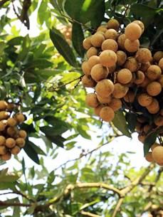 Frutas de Vietnam por conquistar el mercado global