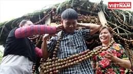 Fiesta de cosecha de ciruelas en Moc Chau