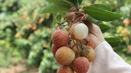 (Video) Temporada de cosecha del lichi de Luc Ngan en provincia vietnamita de Bac Giang