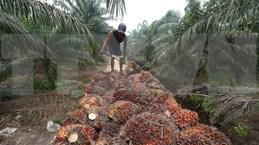 Indonesia presenta demanda al OMC contra la UE por su política sobre aceite de palma
