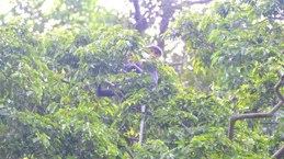 Descubren en provincia vietnamita primates de especie endémica amenazada
