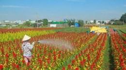 Ocupadas aldeas de flores de Ciudad Ho Chi Minh para satisfacer demanda del Tet