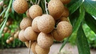 (Televisión) Inician comercialización de longan vietnamita en Australia