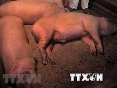 Vietnam adopta medidas ante riesgo de epidemia de peste porcina africana