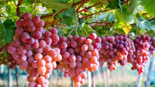 (Televisión) Vietnam se convierte en mayor importador de uvas surcoreanas
