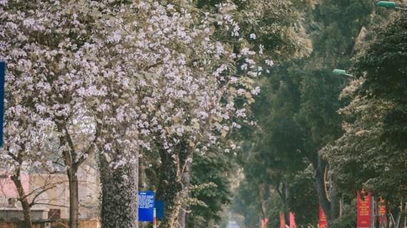Flores de Bauhinia blanca engalanan calles de Hanoi