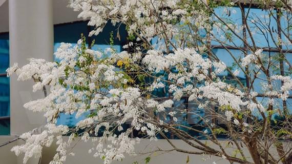 Ambiente de Hanoi blanqueado por las flores Sua