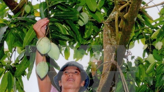 Mango de Dong Nai será puesto en venta en Australia