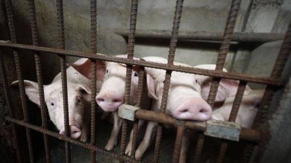 Se extiende Peste Porcina Africana en Filipinas