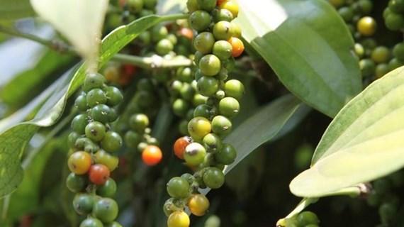 Vietnam ingresa fondos millonarios por exportaciones de pimienta
