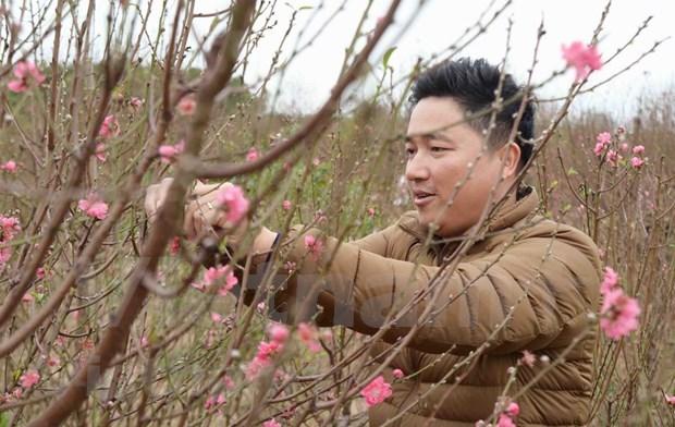 Aceleran en Vietnam venta de flores de melocoton con motivo del Tet hinh anh 2