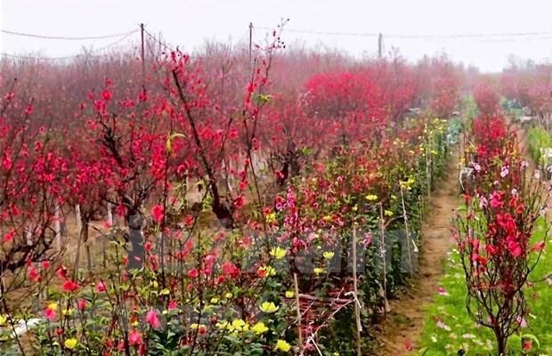 Aceleran en Vietnam venta de flores de melocoton con motivo del Tet hinh anh 1