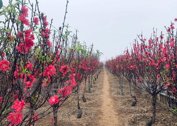 Aceleran en Vietnam venta de flores de melocoton con motivo del Tet hinh anh 3