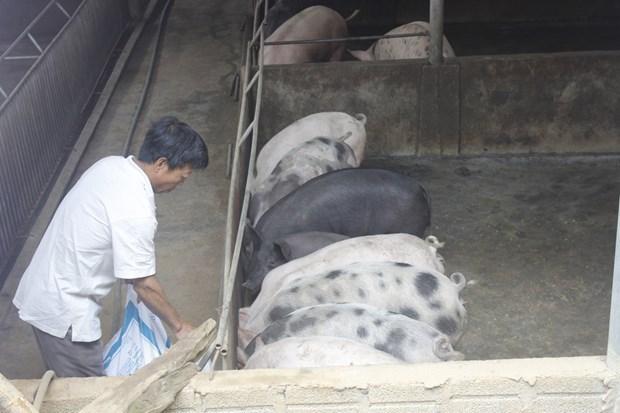 """""""Cazar"""" cerdos negros en ocasion del Ano Nuevo Lunar hinh anh 1"""