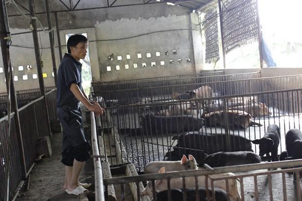 """""""Cazar"""" cerdos negros en ocasion del Ano Nuevo Lunar hinh anh 2"""