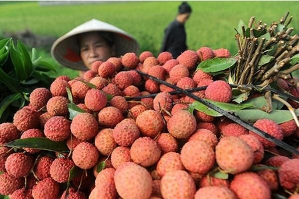 Exportaciones de lichi y longan de Hai Duong logran exitos hinh anh 1