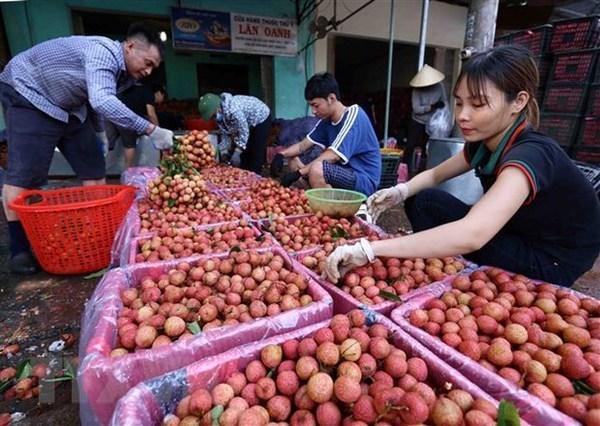 Impulsan la conexion entre empresas y agricultores para impulsar la venta de lichi de Bac Giang hinh anh 2