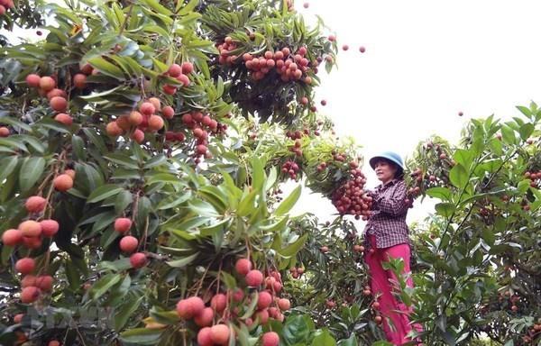 Provincia de Bac Giang prepara tres escenarios para venta de lichi en medio de COVID-19 hinh anh 2
