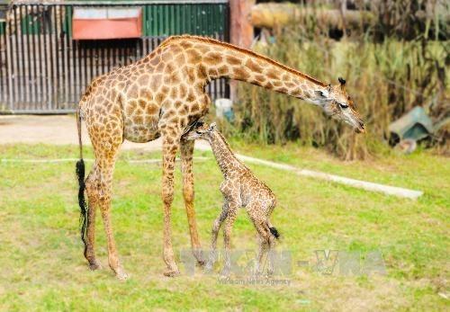 Nace una jirafa sudafricana en el zoo vietnamita hinh anh 1