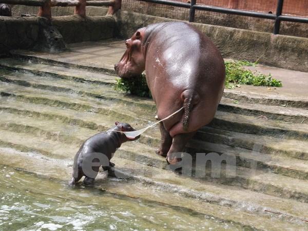 Hipopotamo sudafricano viene al mundo en zoo vietnamita hinh anh 1