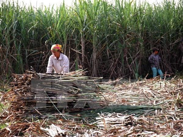 Vietnam busca mejorar competitividad del sector azucarero hinh anh 1