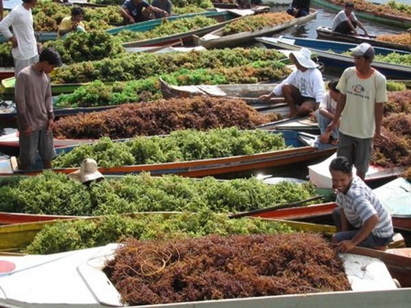 Indonesia, gran proveedor de algas del mundo hinh anh 1